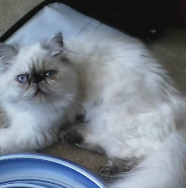 Himalayan kittens For Sale NJ